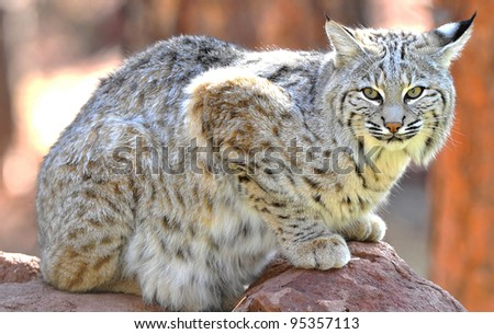 close up of beautiful north american bobcat, yellowstone national park, idaho / wyoming, united states