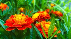 Close up of beautiful Orange yellow marigold flower, petals with gradients effect, Macro of marigold in flower bed sunny day  summer concept