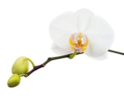 Close-up of beautiful Orchid flower isolated on white background.