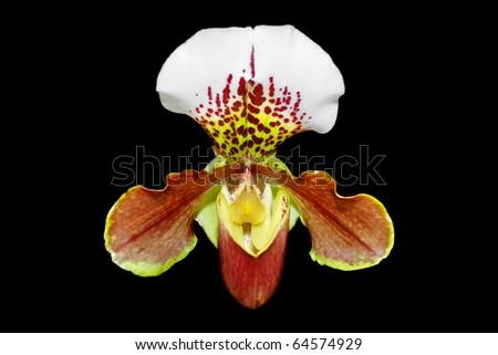 Close up of beautiful orchid (Paphiopedilum Maudiae)