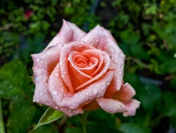 Close up of beautiful perfect pink rose with dew drops on petals early in the morning. Beautiful summer background, beautiful macro metallic looking rose flower with morning dew
