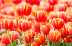close up of beautiful red or orange tulip in tulip field at Amsterdam, Netherlands, Europe