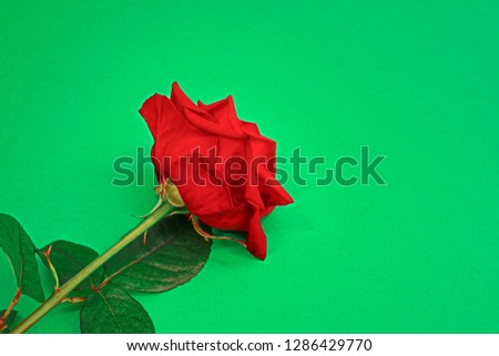 Close up of Beautiful Red Rose Flower Naomi on Bright Green Background. Studio shot. Greeting Card and Valentine Day Concept #1286429770