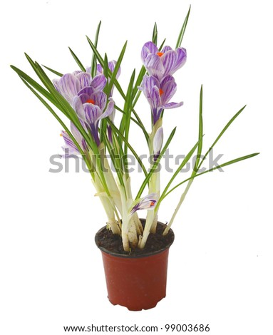 Close up of beautiful spring crocus flowers over white background.