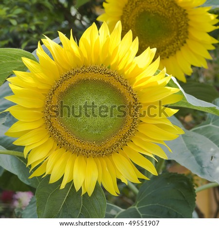 stock-photo-close-up-of-beautiful-sun-flower-plants-49551907.jpg