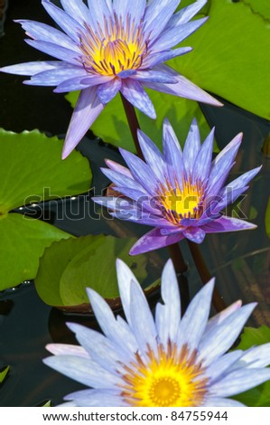 Close-up of beautiful violet lotus, Thailand.