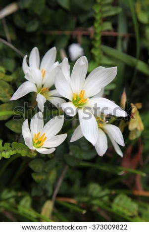 Close up of beautiful white crocus flower ez canvas close up of beautiful white crocus flower mightylinksfo