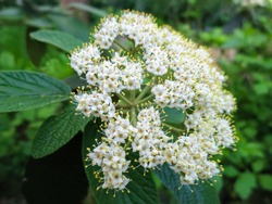 Close-up of beautiful white spring flowers of leatherleaf viburnum (Viburnum rhytidophyllum Alleghany) on dark green background in the garden