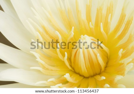 Close up of beautiful  yellow lotus blossom