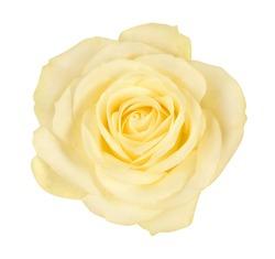 close-up of beautiful yellow rose