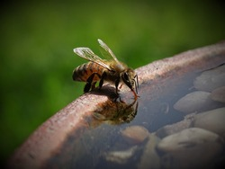 Close-Up of Bee Collecting Water on Sunny Day