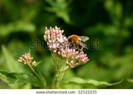 Close-up of Bee in nature. Alight on flower.