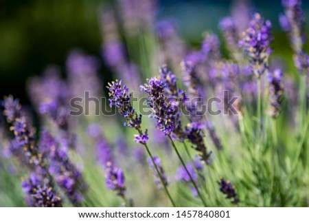 close up of bees collecting honey on lavender #1457840801