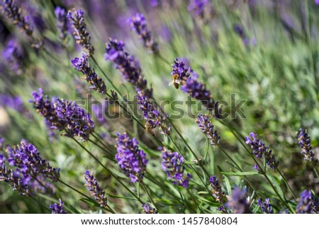close up of bees collecting honey on lavender #1457840804