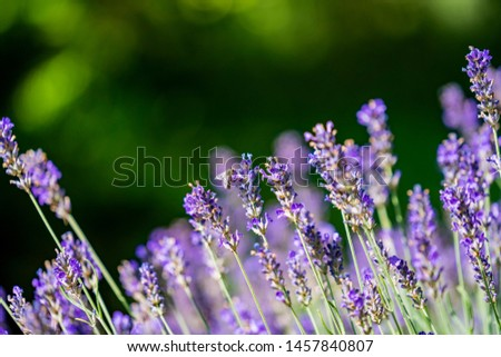 close up of bees collecting honey on lavender #1457840807