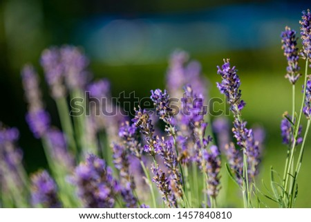 close up of bees collecting honey on lavender #1457840810