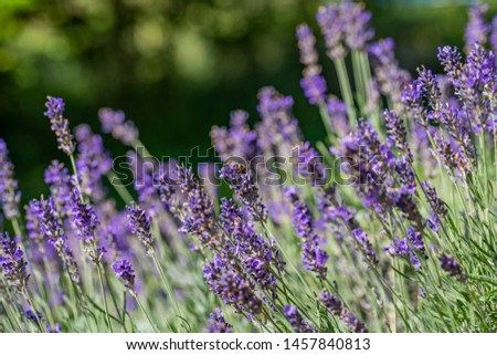 close up of bees collecting honey on lavender #1457840813