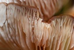 Close-up of beige plates of mushroom spores. Edible mushroom. Selective focus macro shot with shallow DOF