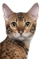 Close-up of Bengal cat, 7 months old, in front of white background