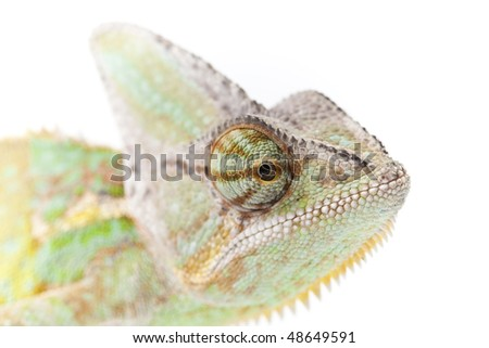 Close-up of big chameleon sitting on a white background