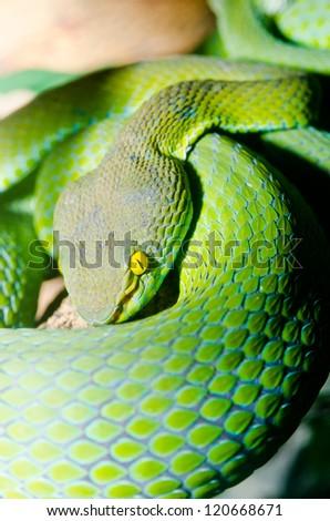 Close up of Big-eyed Pit Viper snake, Thailand. - stock photo