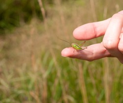Close up of big green grasshopper sitting on a finger of female hand