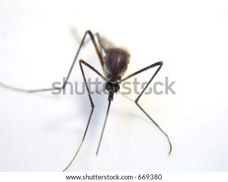 Close up of big mosquito with face in focus. Over white surface.