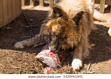 close up of big redhaired country dog eating meat near its doghouse #1420961441