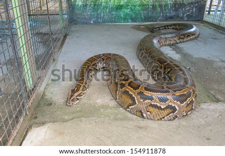 Close up of big Tiger Reticulated Python