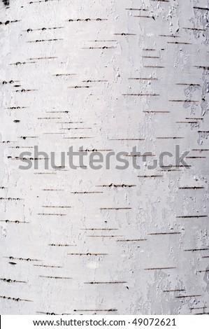 Close up of birch bark surface texture - stock photo