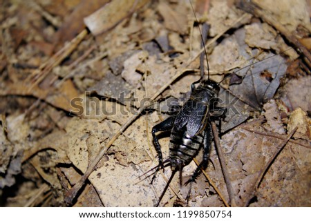 Close Up of Black Field Cricket Sitting on Fallen Brown Leaves on Forest Floor