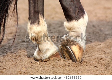 Close up of black horse with white spots hoofs with horseshoe