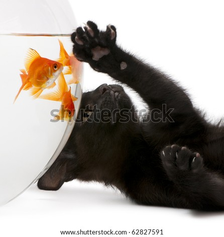 Close-up of Black kitten looking up at Goldfish, Carassius Auratus, swimming in fish bowl in front of white background