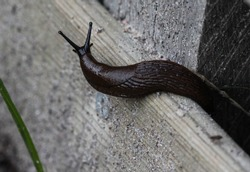 close up of black slug (Arion ater), also known as black arion, European black slug, or large black slug, sitting on a fench in the garden