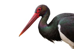 Close up of black stork, ciconia nigra, looking into camera isolated on white background. Attentive wild bird with water droplets on dark feather cut out on blank. Head of animal wildlife in detail.