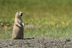 Close up of Black-tailed Prairie Dog squealing from Grasslands National Park in Saskatchewan, Canada