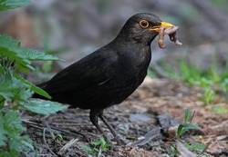 close up of blackbird eating worm