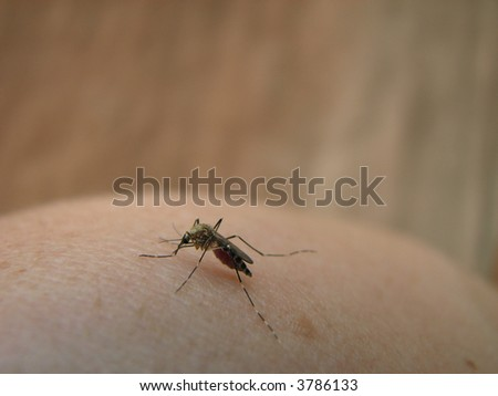 close up of blood-sucking mosquito on human skin
