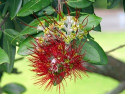 Close up of blooming and fade crimson pohutukawa (Metrosideros Excelsa) flower, New Zealand Christmas tree, with two bees pollinating on flower, against blurred green leaves background in summer