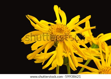 Close-up of blooming leopard's bane - isolated on black background