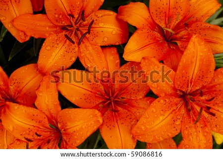 Close up of blooming orange lilies with water drops