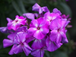 Close up of blooming Phlox paniculata 'Adessa Special Purple Star' (garden phlox)