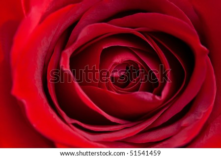 Close up of blooming red rose