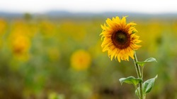 close-up of blooming sunflowers in a field in the raining day, shallow depth of field