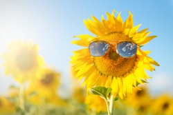 close up of blooming sunflowers wearing sunglasses among the fields on the sunny day with clear blue sky. fun idea of smiling human face on sunflower.