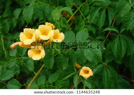 Close up of blooming yellow flowers of Campsis radicans (trumpet vine or trumpet creeper, also known in North America as cow itch vine or hummingbird vine). Poland, Europe