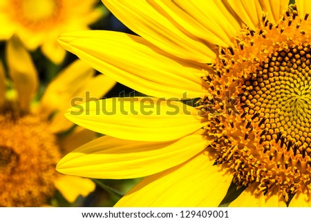 Close up of blossom Sunflower
