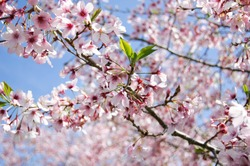 Close up of blossoming cherry tree