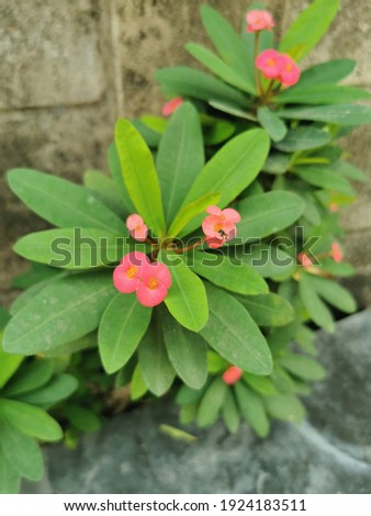 Close Up of Blossoming White Euphorbia Milli Flower fresh with morning scene,Crown of Thorns flower. Red flower with thorns. Euphorbia milii Desmoul. thorn tree Crown of thorns plant.