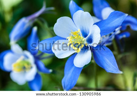 Close up of Blue Columbine wildflower growing on Aspen forest floor